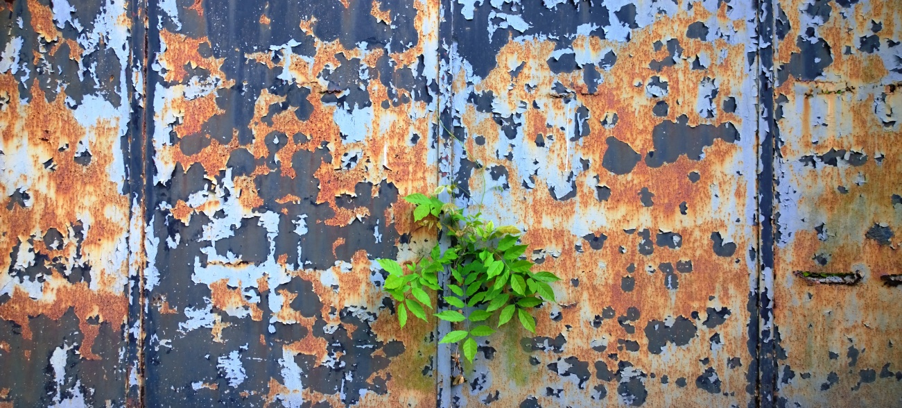 Ash tree breaks through metal gate with peeling paint // remages