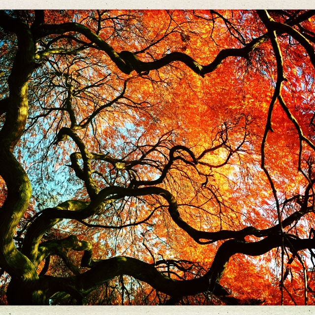 Twisted limbs and red foliage of an old Japanese maple // remages
